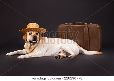 Labrador In Straw Hat And Brown Suitcase. Young Labrador Retriever In Straw Hat Lying Near Tourist B