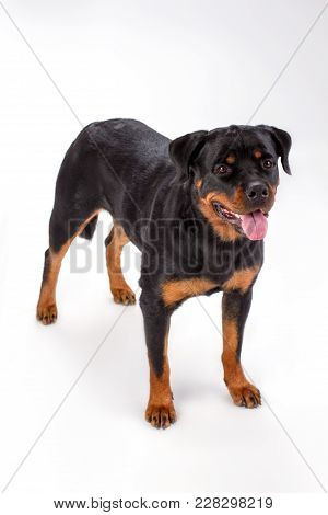 Young Pedigree Dog, White Background. Adorable Young Rottweiler Dog Isolated On White Background, St