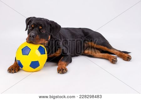 Lovely Rottweiler With Soccer Ball. Studio Portrait Of Young Pedigree Rottweiler With Yellow Fooball