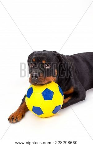 Lovely Rottweiler Puppy With Soccer Ball. Pedigreed Young Rottweiler Posing With Yellow Football Bal