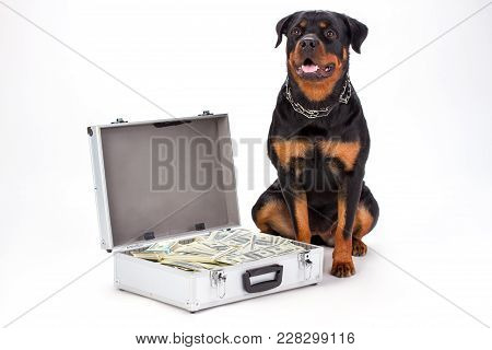 Large Rottweiler And Suitcase Full Of Dollars. Studio Shot Of Young Muscular Rottweiler Dog Sitting