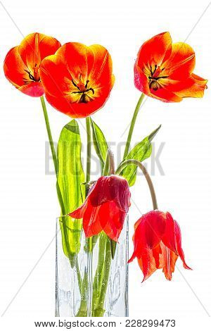 Red Tulips In A Glass Vase Backlit, Isolated On A White Background