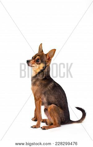 Tiny Sleek-haired Dog, Studio Shot. Cute Russian Toy-terrier Of Brown Color Sitting Isolated On Whit