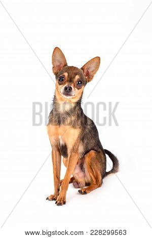 Studio Shot Of Lovely Russian Toy-terrier. Tiny Sleek-haired Dog Sitting Isolated On White Backgroun