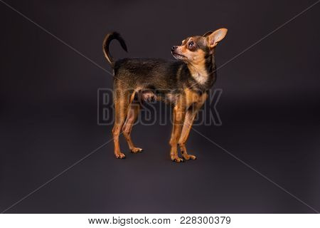 Russian Toy-terrier, Studio Shot. Charming Domesticated Tiny Dog Standing On Dark Background, Studio