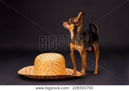 Terrier Dog And Straw Hat. Studio Shot Of Russian Toy-terrier And Wicker Straw Hat On Dark Gradient