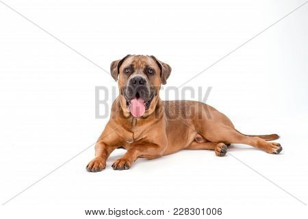 Mastiff Cane Corso, Studio Shot. Cane Corso Italiano Dog Lying Isolated On White Background, Studio