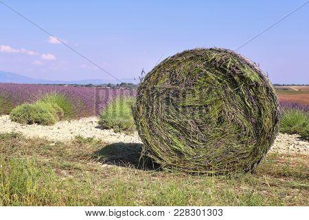 Southern France, Landscapes Of Provence: Harvest Lavender Fields