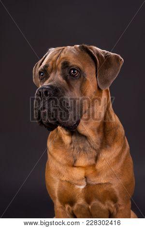 Attractive Cane Corso, Close Up Portrait. Young Brown Purebred Cane Corso Italiano Dog On Dark Backg
