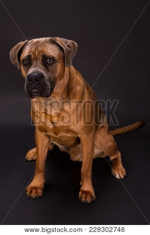 Brown Cane Corso Italiano Dog. Young Beautiful Dog Of Breed Italian Mastiff Cane Corso Sitting And P