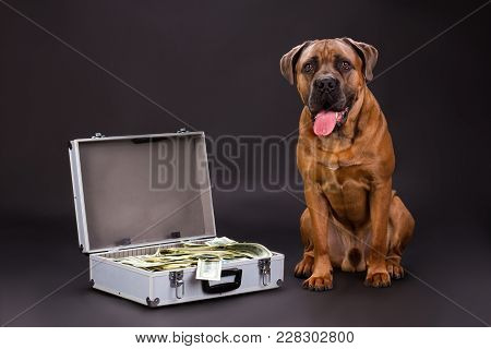 Cane Corso And Hundred Of Dollars. Huge Pedigreed Dog And Suitcase Full Of Currency On Dark Backgrou