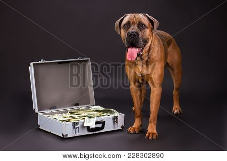 Muscular Pedigree Dog And Suitcase With Dollars. Purebred Cane Corso Italiano Dog And Silver Diploma