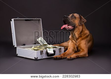 Suitcase Full Of Cash And Cane Corso Dog. Strong Italian Mastiff Cane Corso Lying With Silver Case F