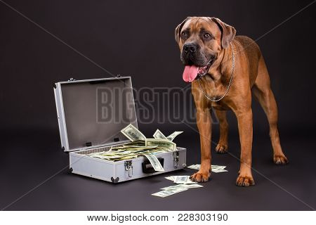 Serious Big Cane Corso And Case With Dollars. Big Brown Cane Corso Italiano Dog With Silver Chain, M