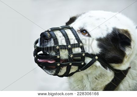 Protection, Safety, Restriction Concept. Dog Wear Leather Muzzle. Pet, Domestic Animal.