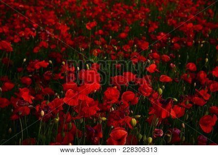 Bright Red Poppy Flower, Natural Background, Narcotics