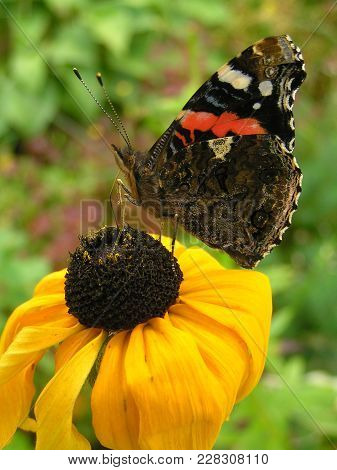 Large And Beautiful Butterfly  - Vanessa Atalanta - Sitting On A Yellow Cone Flower
