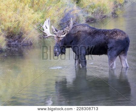 Profile image of a large bull moose, with reflection, standing in the water.  Autumn in Colorado