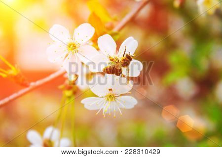 Bee On A Flower Of The White Cherry Or Apple Blossoms With Sunbeams. Toned