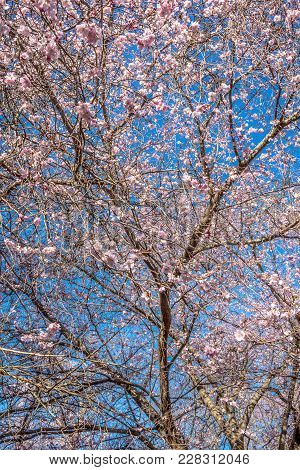 Cherry Blossoms Agains A Bright Blue Sky In Holmdel Park In New Jersey.