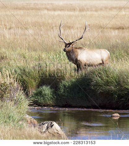 Bull Elk In Rut, Standing Near A Stream.  Rocky Mountain National Park, Colorado.