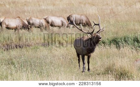 Large Bull Elk, In Rut, Bugling With Harem Of Cows In The Background.  Rocky Mountain National Park,