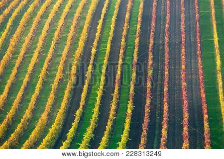 Rows Of Vineyard Grape Vines. Autumn Landscape With Colorful Vineyards. Grape Vineyards Of South Mor