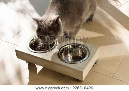 Beautiful British Shorthair Cat Eating Out Of A Stylish Concrete Food Bowl Placed On The Floor On A