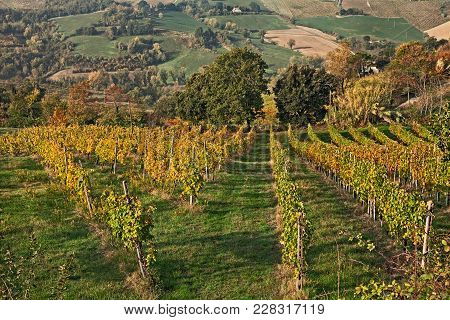 Bertinoro, Forli-cesena, Emilia Romagna, Italy: Autumn Landscape Of The Countryside With Vineyards F