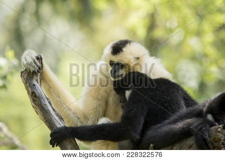 Family Of Sia Mang Gibbon On Tree Branch