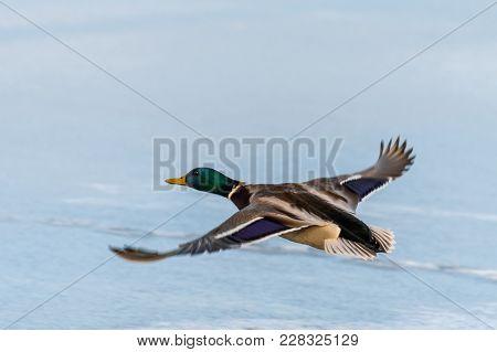 Wild Mallard Duck Flying Over The Frozen Lake