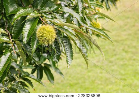 Closeup Of Sweet Chestnut In Husk Growing On Chestnut Tree With Copy Space
