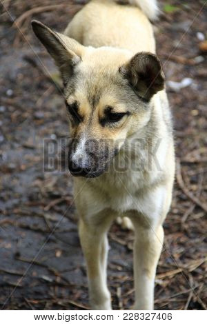 White Nice Mongrel Stands On The Ground. Curious Dog Looking At Camera. Homeless Mongrel Dog Waiting