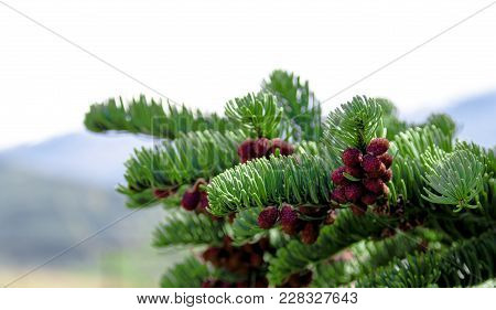 Fresh Pine Tree Growth Budding Red Pine Cones With A Cloudy Sky