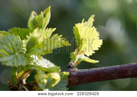 Young Inflorescence Of Grapes On The Vine Close-up.grape Vine With Young Leaves And Buds Blooming On