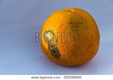 Spoiled Citrus Fruit Is Rotten.orange Mandarin With Mildew On A Blue Background. Copy Space. Close-u