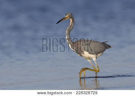 Tricolored Heron (egretta Tricolor) Stalking A Fish - Crystal River, Florida