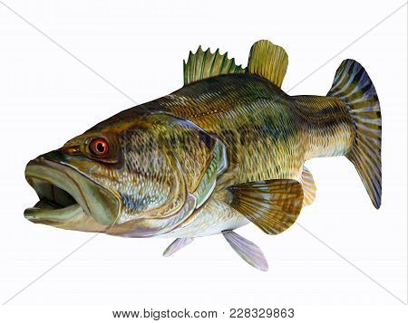 Redeye Bass 3d Illustration - The Redeye Bass Is A Popular Freshwater Gamefish Which Has A Diet Cons