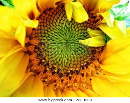 Sunflower macro shot symbol of sun and summer poster