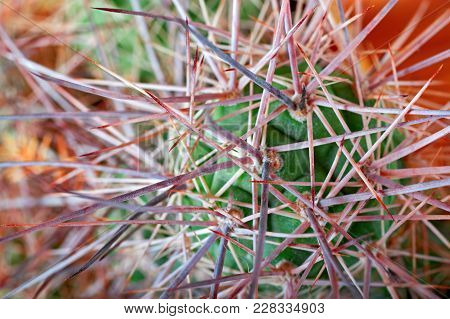 Cactus With Long, Thick, Sharp, Terrible Spines.  Top View, Close-up. Concept Unfriendliness, Self-d