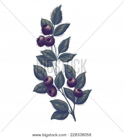 Blueberry Branch And Green Leaves Illustration. Blue Bilberry Fresh And Juicy For Design Of Food Pac