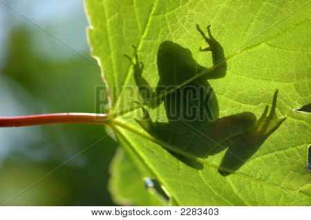 Common Frog On Leaf