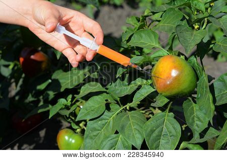 Scientist Injecting Chemicals Into Red Tomato Gmo. Concept For Chemical Gmo Or Gm Food. Genetically