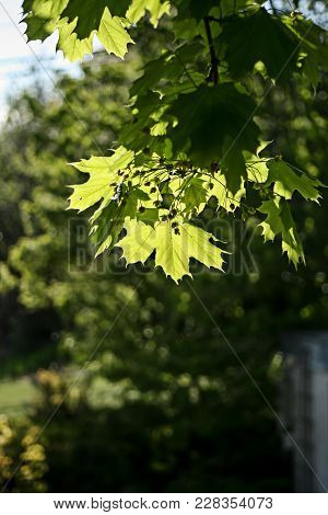 Bright Green Leaves Of A Norway Maple, Backlit By The Early Spring Sun With A Soft Circular Green Sp