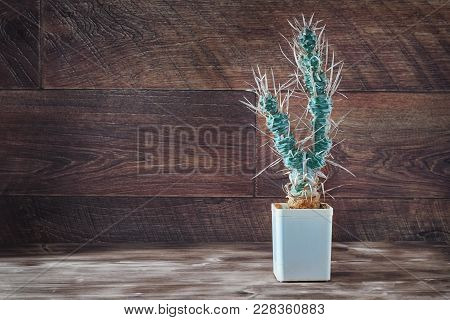 Tall Cactus With Paper-like Spines. Unusual Long Cactus Tephrocactus Articulatus In Pot On Dark Wood