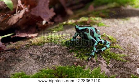 The Poisonous Black And Blue Frog In The Green Grass