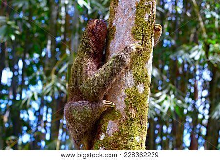 Sloth Climbing On A Tree