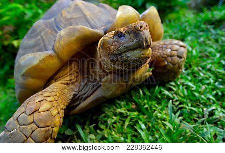 A Giant Turtle Tortoise Relaxing In Green Grass, Santa Cruz Island, Galapagos, Ecuador