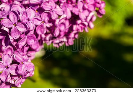 Spring Background With Lilac Flowers. Blooming Lilac Flowers Lit By Sunlight. Selective Focus At The