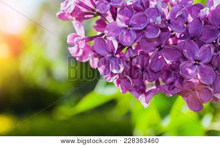 Spring Background With Lilac Flowers In Spring Garden. Blooming Spring Lilac Flowers Lit By Sunlight
